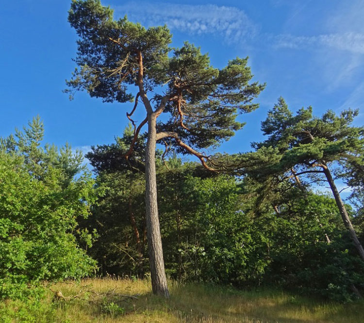 Pining for the Pine Trees